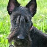 Портрет собака Фрося
