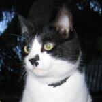 Портрет кот Пит