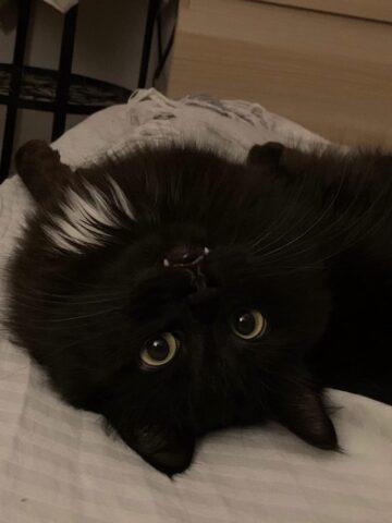Кот Скай