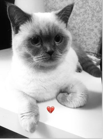 Айси кошка