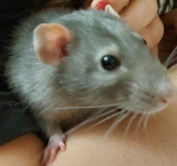 Крыса Шуня