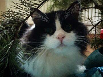 Филлимон кот